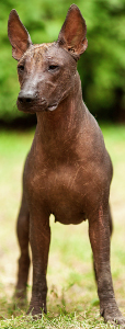 Toy Xoloitzcuintli Dog