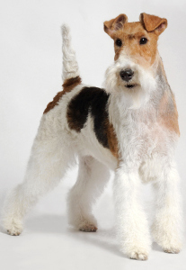 Wire Fox Terrier Dog