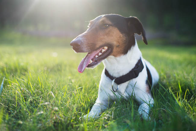 Tips on training an older Jack Russell Terrier