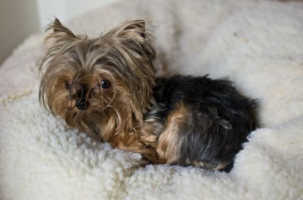 Miniature Yorkshire Terriers, Health, Teacup Terrier Puppies