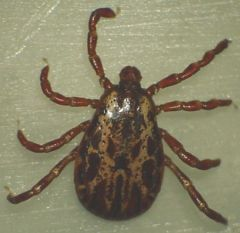 This is a picture of an American Dog Tick