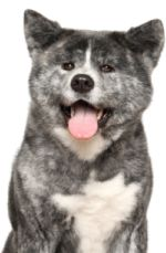 Akita Shepherd – A Complete guide to this fantastic breed