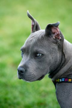 A picture of a Blue Nose Pit Bull