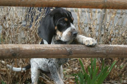 Blue Tick Hounds – A Complete Guide to this Breed