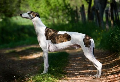 greyhound dog pictures