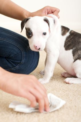 House Training a Puppy, House Training Puppies, Housebreaking a Dog