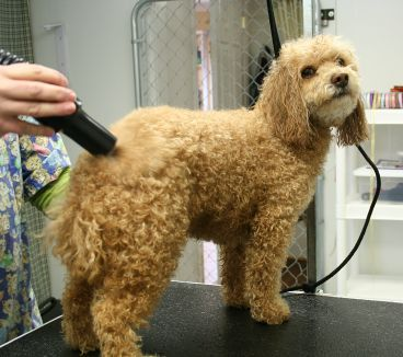 poodle grooming instructions