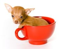 pictures of chihuahuas