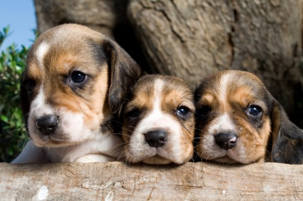 Beagle and pug mix – lots of information on this wonderful mixed breed.