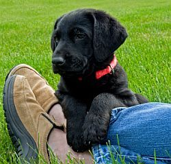 Puppy Obedience Training, How to Train a Puppy, Free Puppy Training Tips