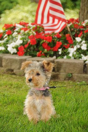 yorkie poodle