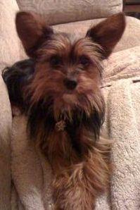 Yorkie Chihuahua Mix, Pics, Grooming A Chorkie Dog