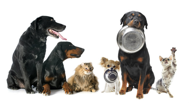Rottweiler Health Problems, Large Puppies, Facts, Traits